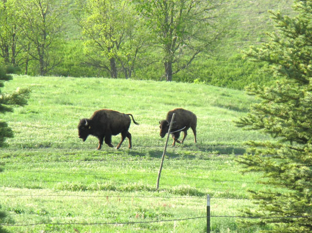 Buffaloes on pasture